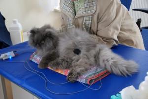 Elektroterapia wykonywana u kota
